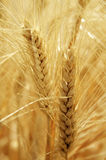 Summer Wheat. Mature wheat ears in the summer light Royalty Free Stock Photos