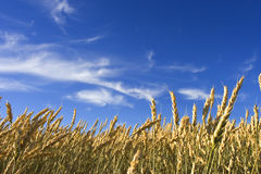 Summer wheat. Wheat field with blue sky royalty free stock images