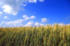 Summer wheat. A field of wheat in rural Quebec, Canada stock photo