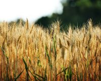 Summer wheat Stock Photography