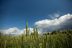 Summer Wheat Crops Field Stock Photography
