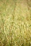 Summer wheat field Royalty Free Stock Photo