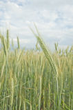 Summer wheat field . Stock Image