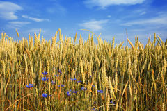 Summer wheat field. Beautiful wheat field almost ready for harvest under blue sky with some clouds stock photo