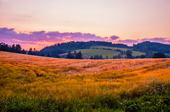 Summer wheat field. Secluded summer wheat field during the sunset Royalty Free Stock Images