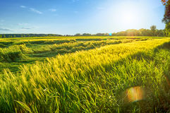 Summer wheat field. Wheat field in the summer during afternoon Royalty Free Stock Photos