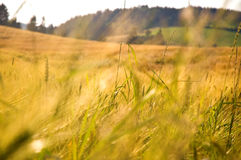 Summer wheat field Royalty Free Stock Images