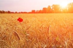 Summer wheat field Stock Photos