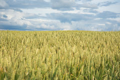 Summer on wheat field. Stock Photo