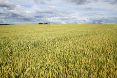 Summer on wheat field. Stock Photography