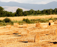 Summer wheat field after a harvest Stock Photo
