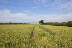 Summer wheat field Stock Images