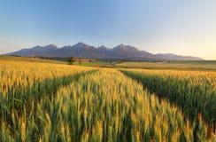 Summer wheat field in Slovakia, Tatras stock photography