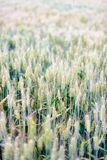 In the summer, the wheat in the fields Royalty Free Stock Photos