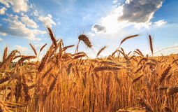 Summer wheat. Grain field against blue sky, wide angle view Stock Photos