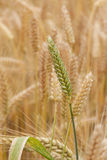 Summer Wheat Stock Photos
