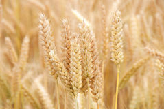 Summer Wheat stock images