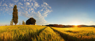 Summer wheat panorama Royalty Free Stock Images