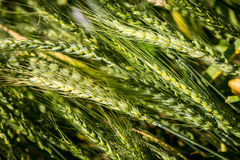 Summer wheat - triticum aestivum. Poaceae Royalty Free Stock Photos