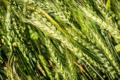 Summer wheat - triticum aestivum. Poaceae Stock Images