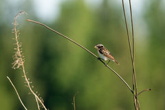 Summer whinchat. Adult male whinchat in breeding plumage in summer Royalty Free Stock Image