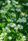 Summer white Daisy flowers on green meadow stock image