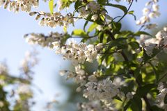 Summer white flowers bloom. Branch white flowers. White buds. royalty free stock photography