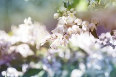 White flowers blurred background. White flowers bloom in summer royalty free stock photography