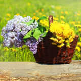 Summer wicker basket with yellow dandelions flowers and lilacs on a meadow Stock Images