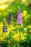 Summer wild flower Stock Photography