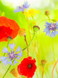 Summer wild flowers poppy and cornflower abstract Stock Photography