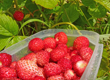 Summer wild strawberries. In plastic box Stock Images