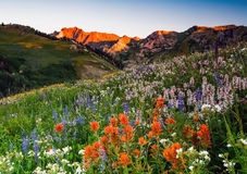 Summer wildflower morning in the Wasatch mountains. Stock Images
