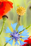 Summer wildflower poppy and cornflower abstract Royalty Free Stock Image