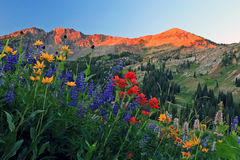 Summer wildflower sunrise in the Wasatch mountains. Stock Photos
