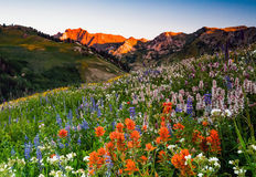 Summer wildflower sunrise in the Wasatch mountains. Stock Images