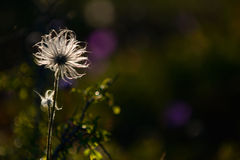 Summer wildflower during sunset on the island Gotland in Sweden Stock Photography