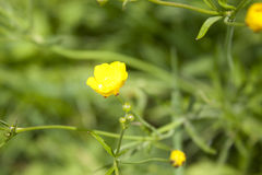 Summer wildflowers.Acrid Buttercup yellow. Closeup of colorful summer wildflowers sunlight meadow, grassland, grass glade in the forest Royalty Free Stock Images