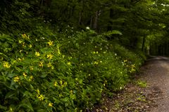 Summer Wildflowers - Appalachian Mountains - Dolly Sods, West Virginia. Summer wildflowers line a gravel and dirt forest road in the Dolly Sods wilderness in Stock Photos