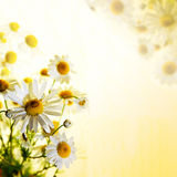 Summer wildflowers: chamomile Royalty Free Stock Photo