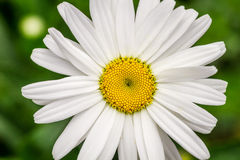 Summer wildflowers - Daisy Stock Image