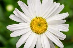 Summer wildflowers - Daisy Stock Image