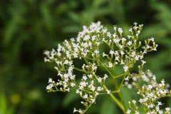 Summer wildflowers Royalty Free Stock Image