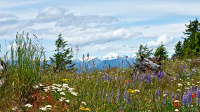 Summer wildflowers. In a meadow with snow capped mountains in background royalty free stock photos