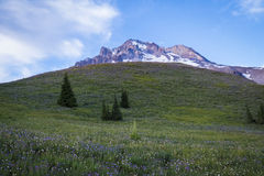 Summer wildflowers on Mt. hood, Oregon Royalty Free Stock Photos
