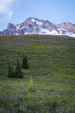 Summer wildflowers on Mt. hood, Oregon Royalty Free Stock Image