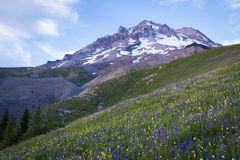 Summer wildflowers on Mt. hood, Oregon Royalty Free Stock Photos