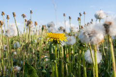 Summer wildflowers. One blossomed yellow dandelion among  many white dandelions. Royalty Free Stock Photo