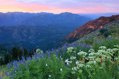 Summer wildflowers in the Wasatch Mountains. Royalty Free Stock Images