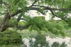 Summer willow tree Stock Images